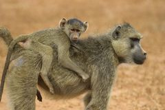 Baboon mother and infant. Baboon mother carrying infant on her back royalty free stock photo