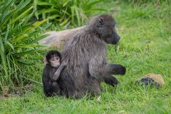 Baboon mother and infant. Female chacma baboon with young infant near Cape Town, South Africa Royalty Free Stock Photo
