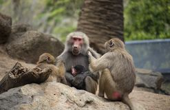 Baboon mother being groomed by younger baboons royalty free stock image