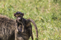 Baboon mother walking through the savannah with its baby on the Stock Image