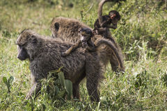 Baboon mother walking through the savannah with its baby on the Royalty Free Stock Photography