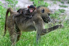 Baboon mother with young Royalty Free Stock Photo