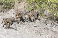 Baboon mothers with baby on the back Stock Photography