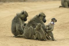 Baboon mothers and infants. Female yellow baboons grooming while infants are playing around them stock photos