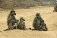 Baboon mothers and infants royalty free stock photo