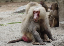 Baboon. Name – yellow baboon – baboons received for unusual coat colour, grey with a yellow tint royalty free stock images