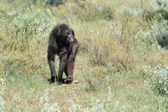 Baboon, Namibia, Africa. African baboon monkey walking in savanna, Namibia, Africa stock photo