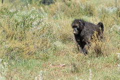 Baboon, Namibia, Africa. African baboon monkey walking in savanna, Namibia, Africa royalty free stock photos