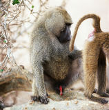 Baboon. Nature tree wildlife bush africa monkey savannah ape tanzania royalty free stock images