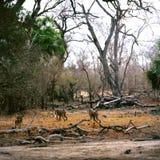 Baboon. Nature tree wildlife bush africa monkey savannah ape tanzania stock image