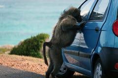 Baboon near the car. South Africa. The baboon wants to get into the car. Baboon near the car Stock Photo