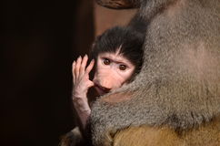 Baboon with newborn young Royalty Free Stock Photography