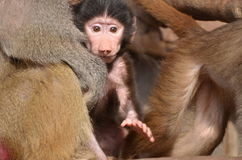 Baboon with newborn young royalty free stock photo