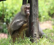 Baboon. An old babbon siiting under a tree and staring at camera royalty free stock photography
