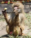 Baboon. An old babbon siiting under a tree and staring at camera royalty free stock photo