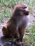 Baboon. An old babbon siiting under a tree and staring at camera stock photos