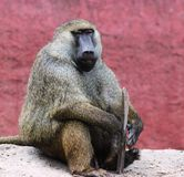 Baboon. An old babbon siiting under a tree and staring at camera stock images