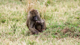 Baboon. Olive baboon lunch in Masai Mara Park in Kenya royalty free stock images