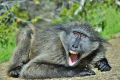 Baboon with open mouth exposing canine teeth. The Chacma baboon. Baboon with open mouth   exposing canine teeth. The Chacma baboon Papio ursinus, also known as Stock Photography