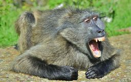 Baboon with open mouth exposing canine teeth. The Chacma baboon. Baboon with open mouth   exposing canine teeth. The Chacma baboon Papio ursinus, also known as Stock Image