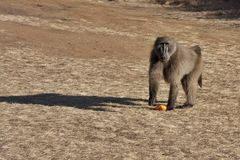 Baboon with orange peel Royalty Free Stock Image