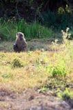 Baboon på watchen Royaltyfri Bild