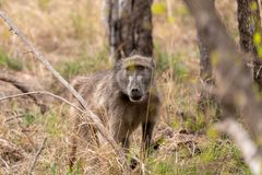 Baboon Papio anubis. In the African bush stock photo