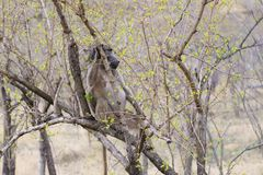 Baboon Papio anubis. Sitting in a bush, taken in Kruger Park, South Africa stock photography