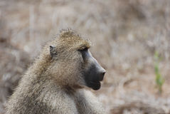 Baboon (Papio cynocephalus). Baboon sits on red earths royalty free stock photography
