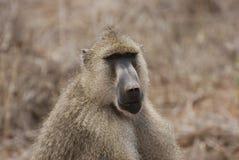 Baboon (Papio cynocephalus). Baboon sits on red earths stock photo