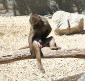 Baboon. A baboon ( Papio cynocephalus) on a tree royalty free stock image