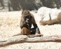 Baboon. A baboon ( Papio cynocephalus) on a tree stock photo