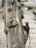 Baboon. A baboon (Papio cynocephalus) on a tree stock photography