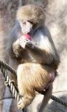 Baboon (Papio hamadryas) Stock Photo