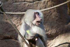 Baboon (Papio hamadryas) Stock Images