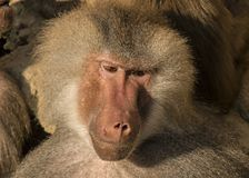 Baboon, Papio, a portrait. Papio, the Baboon is a monkey and lives in Africa royalty free stock image