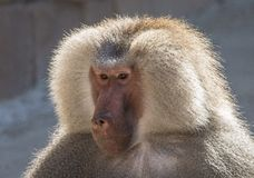 Baboon, Papio, a portrait. royalty free stock image