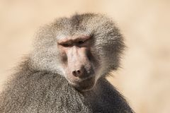 Baboon, Papio, a portrait. Papio, the Baboon is a monkey and lives in Africa royalty free stock photography