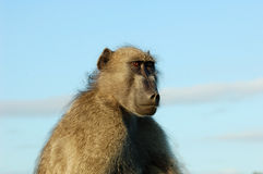 Baboon (Papio ursinus). A chacma baboon early in the morning in South Africa Royalty Free Stock Images