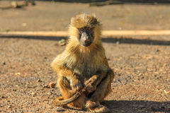 Baboon sitting. Baboon monkey sitting on the ground at Ngorongoro National Park in Tanzania Africa stock image