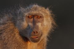 Baboon Portrait Royalty Free Stock Photos