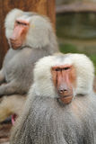 Baboon portrait. Shooting like a humans Expression, two male baboons stock image