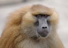 Baboon portrait Stock Image