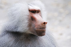 Baboon Portrait. Portrait of a grey baboon monkey royalty free stock images