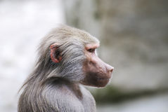 Baboon Portrait. Portrait of a grey baboon monkey royalty free stock photography