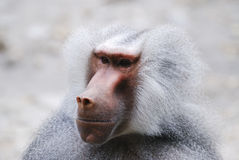 Baboon Portrait. Portrait of a grey baboon monkey stock photos