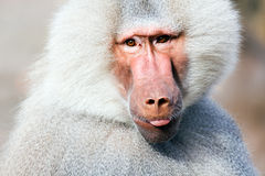 Baboon portrait. Closeup, sticking his tongue out at camera Royalty Free Stock Photography
