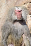 Baboon Portrait Royalty Free Stock Images