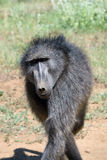 Baboon portrait, Namibia. Portrait of african baboon monkey, Namibia, Africa stock photo