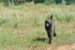 Baboon portrait, Namibia. African baboon monkey walking in savanna, Namibia, Africa royalty free stock photography